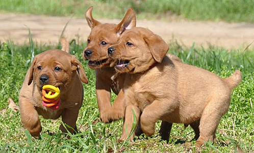 Fox Red Labradors Information English Fox Red Labs Puppies Litters